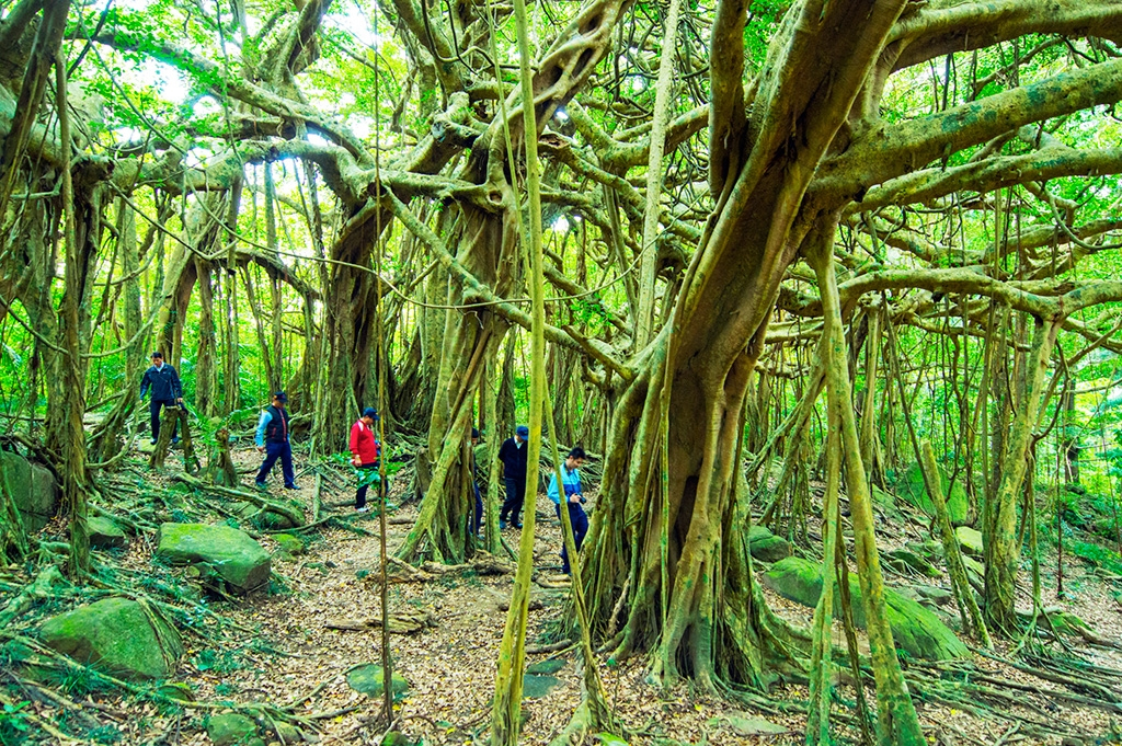 Gigantic banyan tree roots